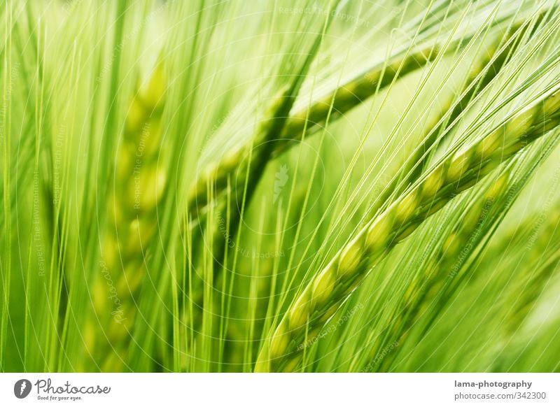 staple foods Food Grain Agriculture Forestry Barley Barley ear Field Barleyfield Grain field Grain harvest Green Colour photo Exterior shot Close-up Detail