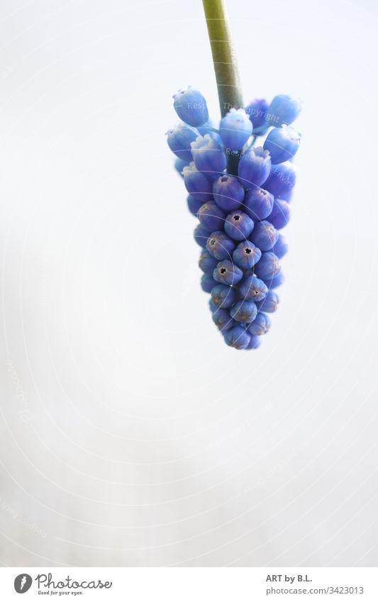Grape hyacinth coming into the picture from above grapes little bell Spring Blue blue Hyacinthus Muscari freedom of text empty Nature Flower
