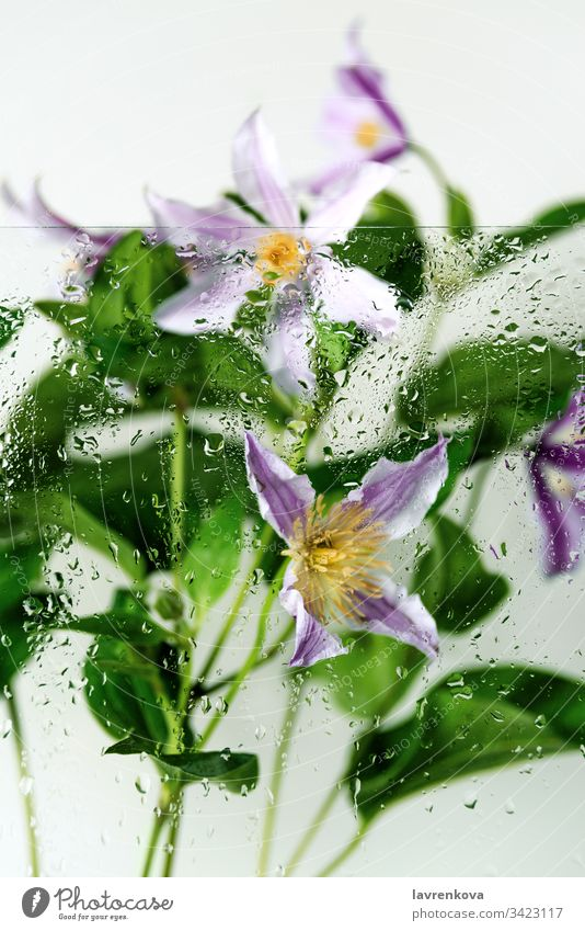 Clematis flowers shot behind the glass with water drops, selective focus, spring concept freshness rain clematis bouquet petal yellow flora closeup leaf bloom