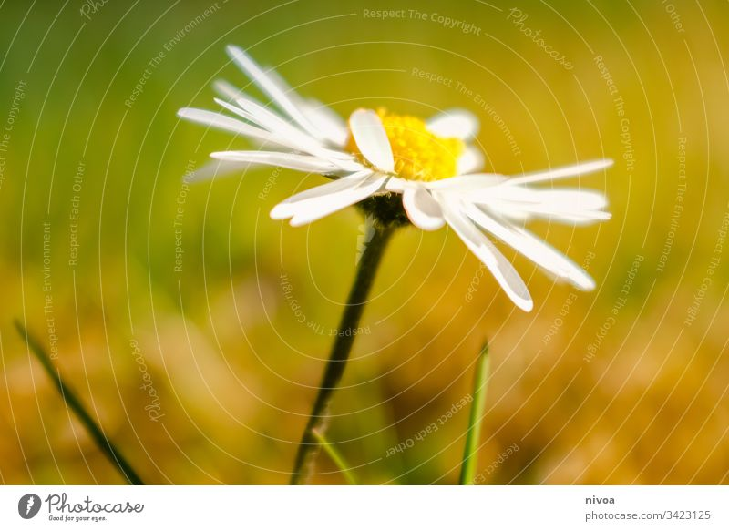 daisies Daisy Flower Spring Meadow Green Blossom Summer Blossoming Exterior shot Plant Nature Grass Close-up Colour photo Garden Flower meadow Growth Fragrance