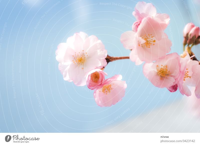 Cherry blossoms in detail Spring Blossom Pink Beautiful weather Sunlight Blossoming Plant Tree Exterior shot Nature Colour photo Park Day Spring fever Deserted