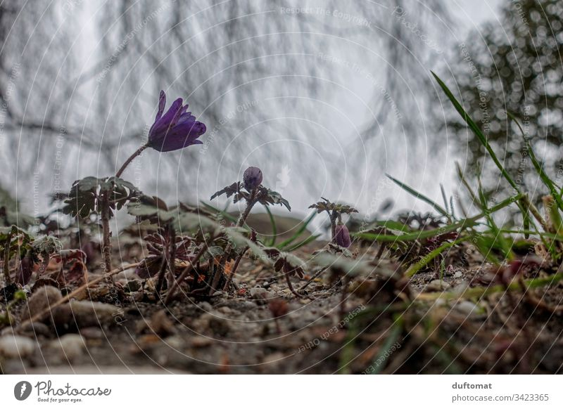Purple flower (kitchen bell) sprouts from the ground, on a cloudy spring day flowers Ground anemone somber Spring Blossom Flower Plant Close-up Nature Garden