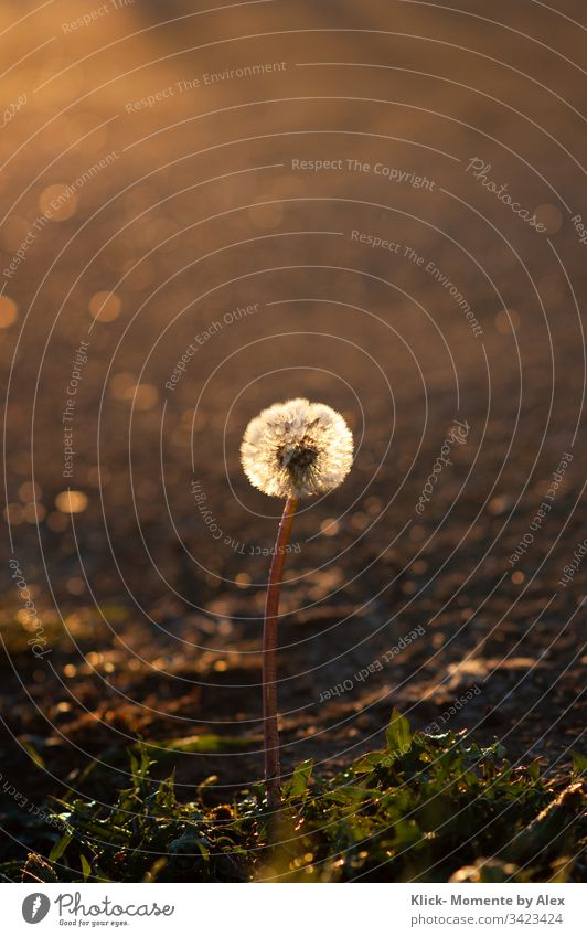 Dandelion in the morning light dandelion morning dew sunny Sun Light Dew Flower Plant Nature Meadow Environment Illuminate