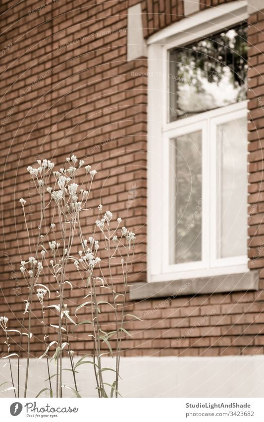 White blooming plant in front of a brick house window frame glass building home wall flower spring springtime summer blossoming flowers flowering delicate