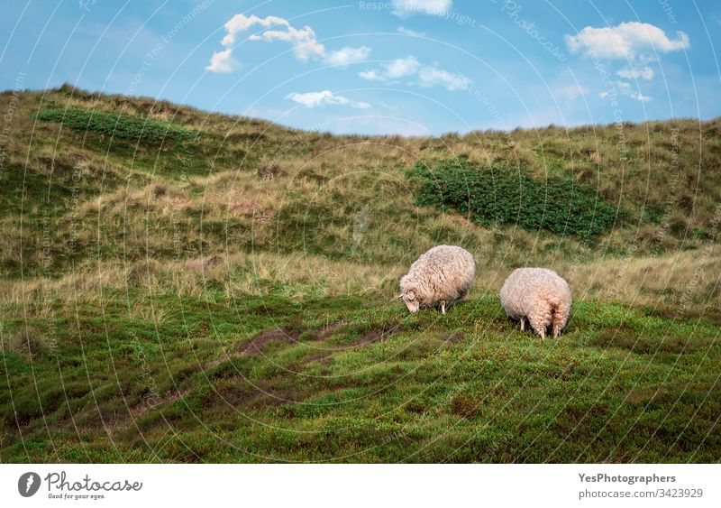Sheep grazing on dunes with moss on Sylt island Germany Schleswig-Holstein animals blue sky coast europe european farm free animals frisian countryside grass