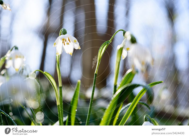 Flowering snowflakes in the forest Spring snowflake Märzenbecherwald Märzenbecherwiese Spring fever Spring day Exterior shot Nature Plant Spring flower Blossom