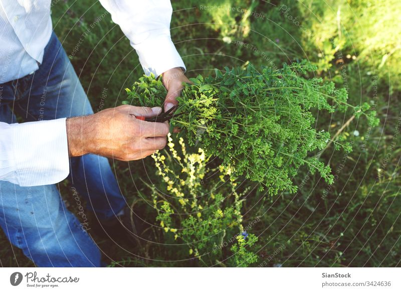 Man is holding a bouquet or oregano fresh man male hands wild organic food garden nature green healthy natural plant leaf herb mountain harvest field summer