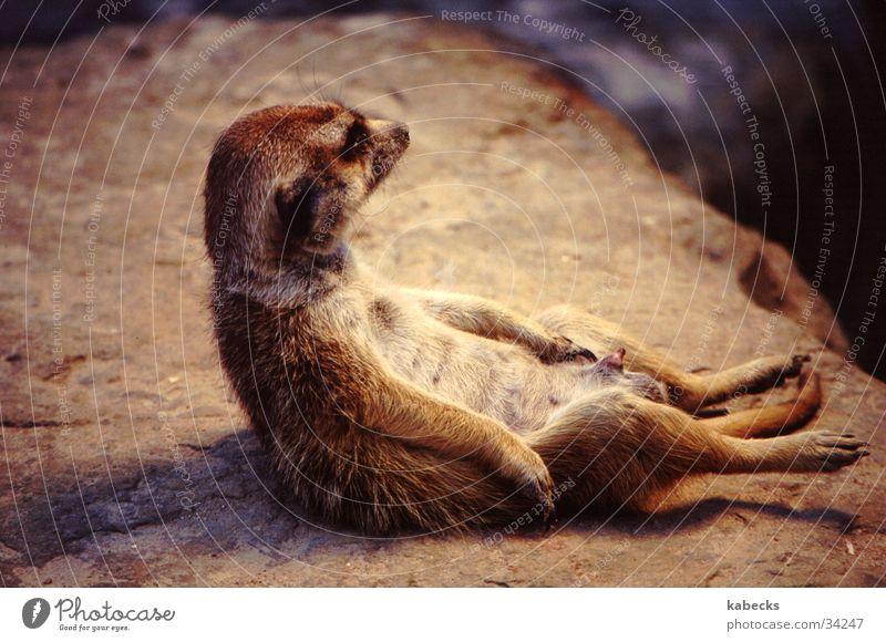 Relaxation Warmth Zoo Meerkat