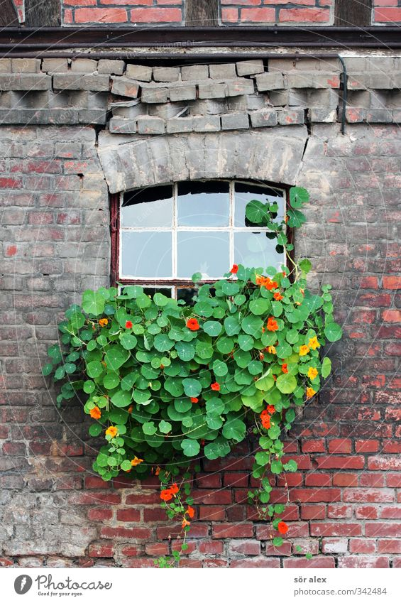Old Green Beautiful Plant Red Flower Leaf House (Residential Structure) Window Wall (building) Spring Wall (barrier) Blossom Facade Decoration Broken