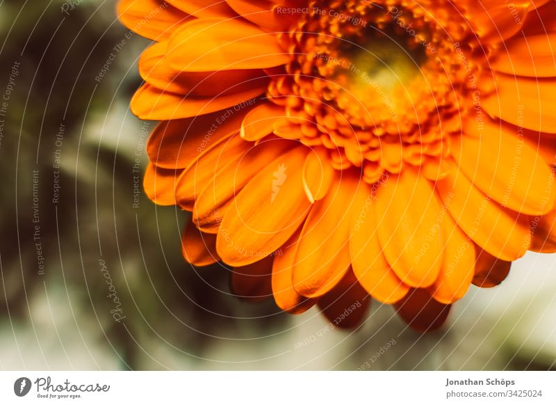 Close-up of orange Gerbara, Asteraceae, daisy family, Plantae Bloom Flower scape background beautiful beauty blooming blossom bouquet bright bright background