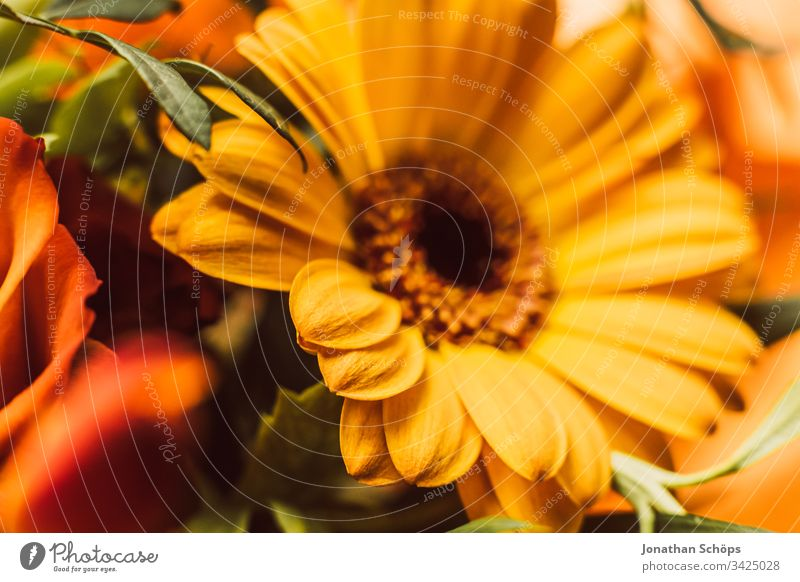 Close-up of yellow Gerbara, Asteraceae, daisy family, Plantae Bloom Flower scape background beautiful beauty blooming blossom bouquet bright bright background