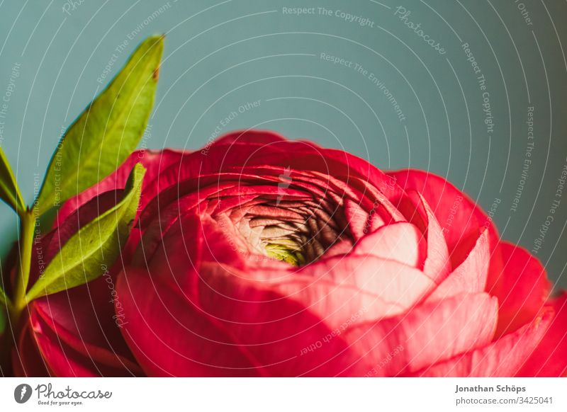 closeup of red Rosa Damascena, Damask rose, Plantae, Rosa on neutral background Bloom Flower scape beautiful beauty blooming blossom bouquet bright