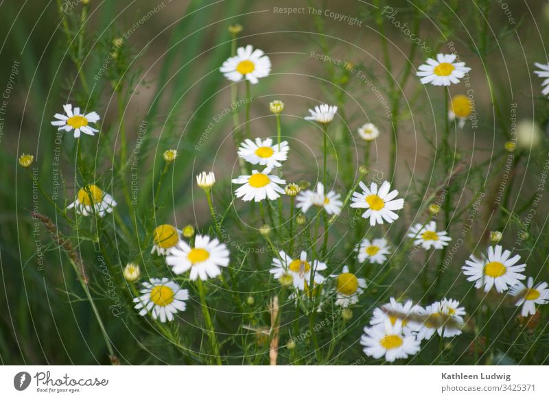 Chamomile by the wayside Camomile blossom Medicinal plant Plant Nature blossoms White flowers Exterior shot Summerflower Medicinal herbs Colour photo