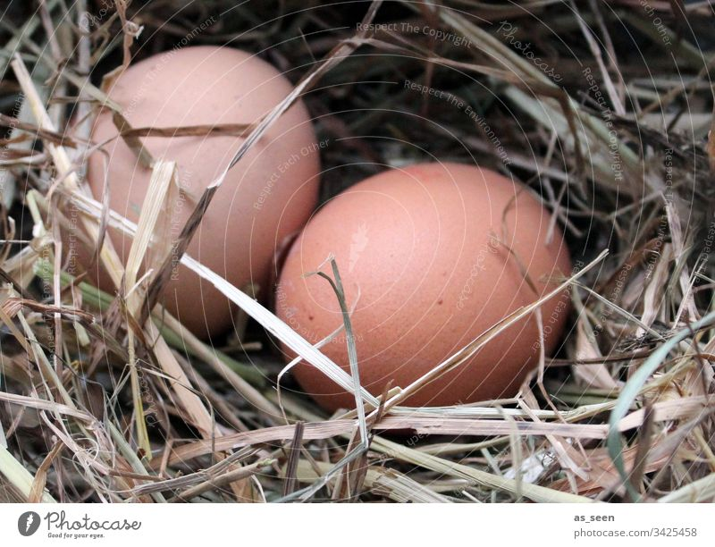 Two chicken eggs in the nest Egg Easter Chicken eggs Nest Straw Spring Easter egg nest Nature Colour photo Close-up Food Feasts & Celebrations Nutrition