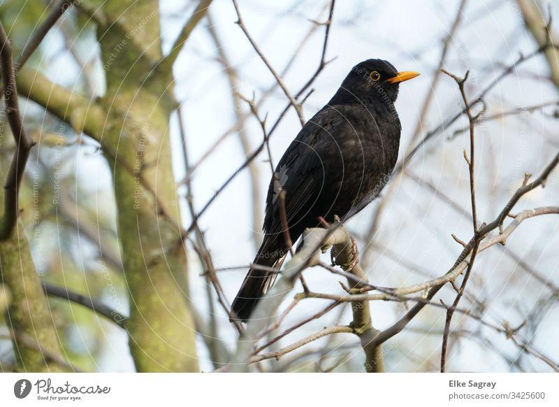 male blackbird - first singer in the garden Bird Blackbird Exterior shot Sit Tree Animal portrait