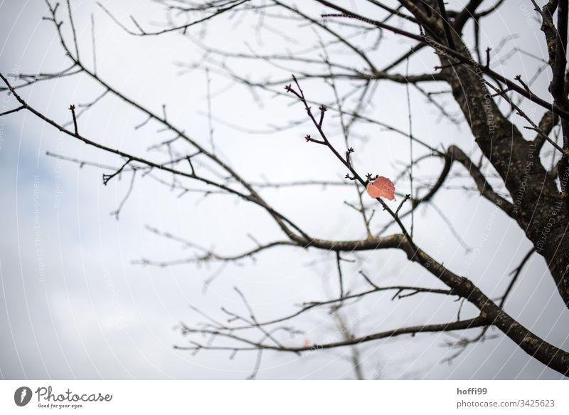 the last leaf on the tree - the last one turns off the light. Fog Plant Branch Silent Tree Leaf Twig Esthetic Bright Bad weather Water Cold Natural Thin Gloomy