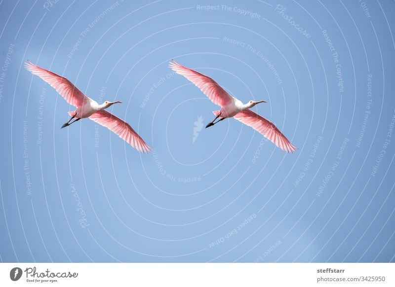 Pink spread wings of a flying roseate spoonbill bird Platalea ajaja Bird pink bird pink wings feathers Florida Myakka River wild bird wildlife marsh nature