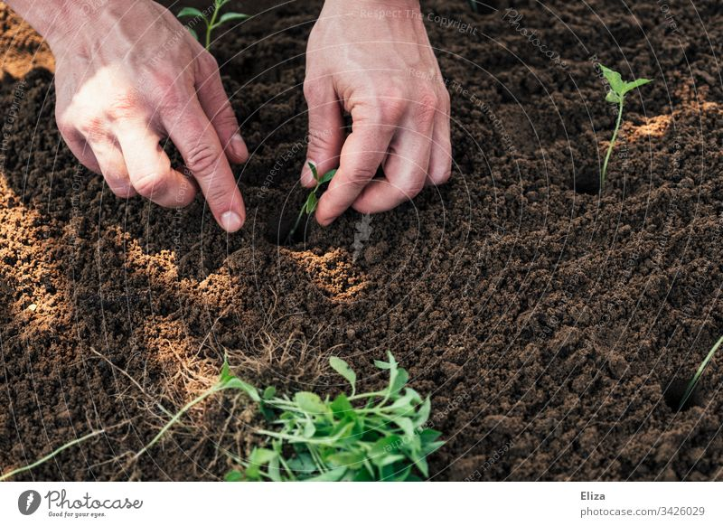 Two hands gardening, planting small seedlings in a bed of soil Gardening do gardening plants labour Employment Spring Plant Green Sapling Exterior shot