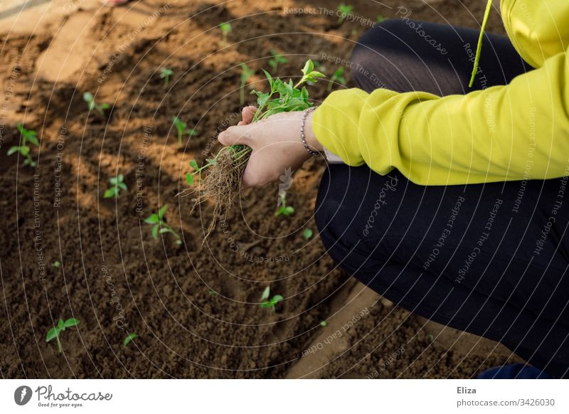 A woman gardening, planting small seedlings in a bed of soil Gardening do gardening plants hands labour Employment Spring Plant Green Sapling Exterior shot