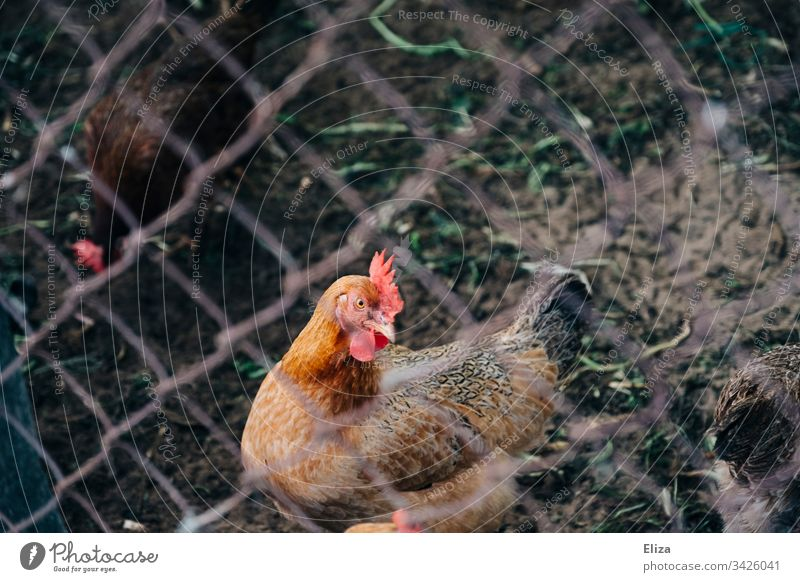 Rooster behind a fence; animal husbandry, free-range chicken Free-range rearing Farm Laying hen organic Keeping of animals Fence penned Barn fowl Animal Bird