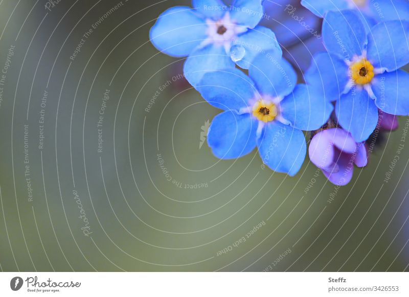forget-the-old-not-the-old-people | corona thoughts Forget-me-not Blue spring flowers Blossom Spring Flower dark blue Blossoming Nature Environment Close-up