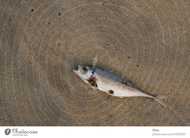 Dead decaying fish on the beach Fish dead Mackerel pass away die of fish disgusting Inedible Bad Sand Ocean Water Beach Animal Dead animal Coast Colour photo
