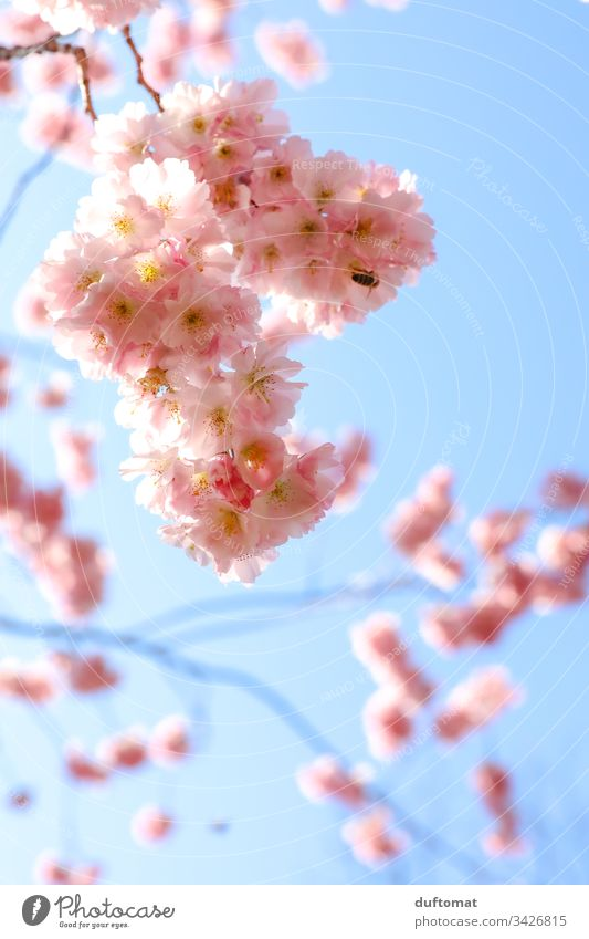 Hanami, cherry blossom, delicate pink flowers against a blue background Blossom Delicate Pink Blue sky fragility Spring Plant Nature Colour photo Exterior shot