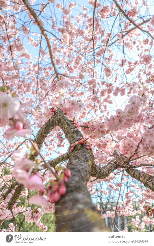 Hanami, cherry blossom, delicate pink flowers on the branch Blossom Delicate Pink Blue sky fragility Spring Plant Nature Colour photo Exterior shot Flower