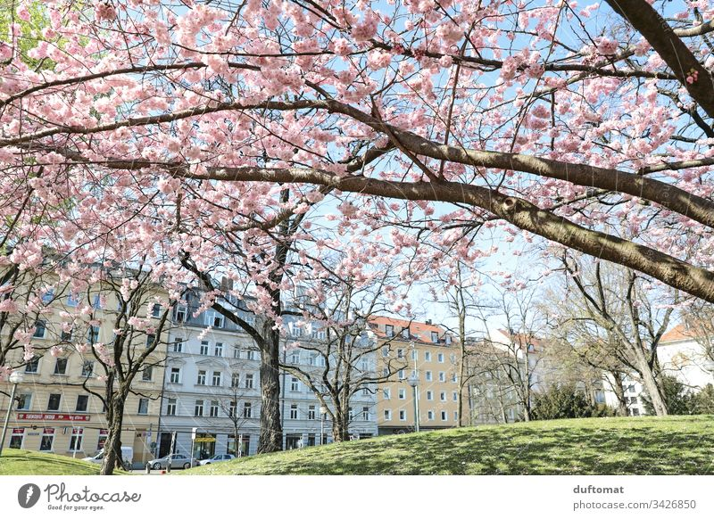Hanami, cherry blossom, delicate pink flowers in front of a row of houses Blossom Delicate Pink Blue sky fragility Spring Plant Nature Colour photo