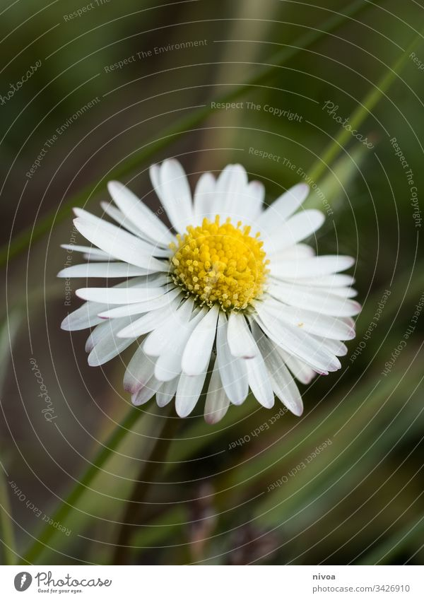 Daisy Flower Plant Summer White Daisy Family Nature Garden Beauty Photography background Decoration Floral Blossom leave Beautiful Romance daisy Fresh Spring