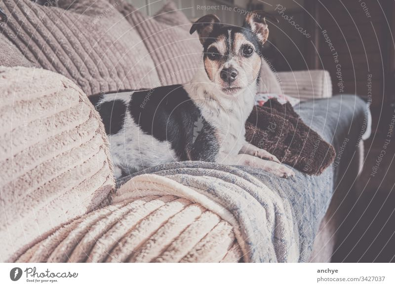 Jackrussel dog lying on the couch jackrussel Relaxation Pet Cute Interior shot Colour photo Animal portrait Love of animals comfortable Animal face plaid