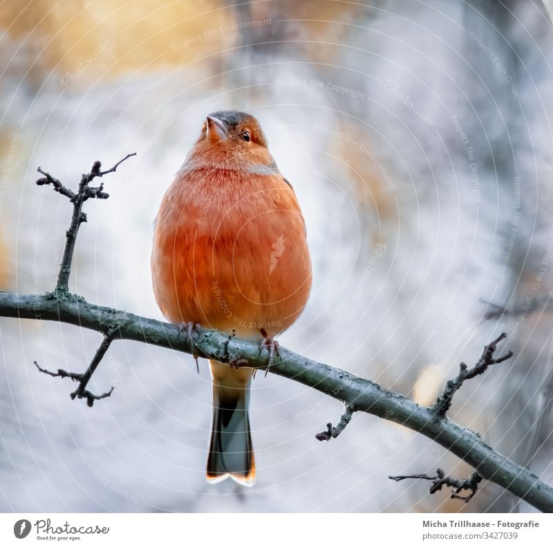 chaffinch on a branch Chaffinch Fringilla coelebs Finch Animal face Bird Head Beak Eyes Feather Plumed Grand piano Claw Wild animal Twigs and branches Tree