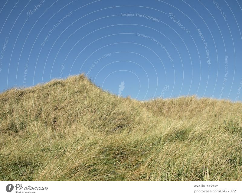 Dunes in front of a blue sky Grass Overgrown background Copy Space Sylt Germany dunes Marram grass Nature Landscape North Sea Sky Coast Day Relaxation
