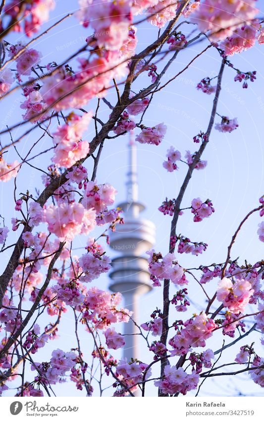 Cherry blossoms and Olympic Tower Television tower Munich Olympic Park Exterior shot Colour photo Sky Architecture Landmark Tourist Attraction Day