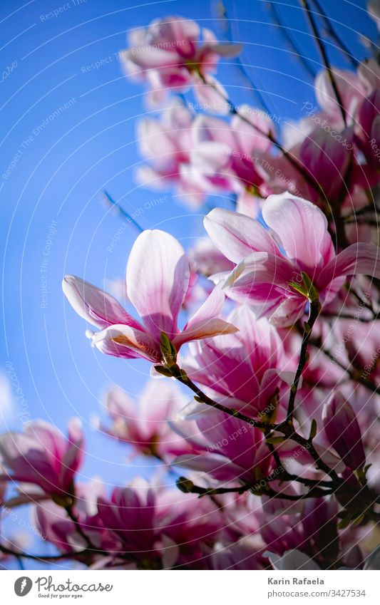 magnolia blossoms Magnolia blossom Blossom Colour photo Exterior shot Nature Spring Plant Pink Day Magnolia plants Flower Magnolia tree Blossoming Garden