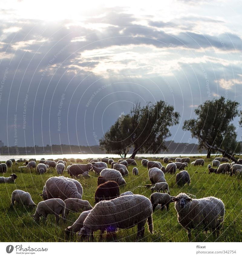 Country life in Düsseldorf Landscape Clouds Sunlight Spring Meadow Farm animal Sheep Herd To feed Colour photo Exterior shot Deserted Copy Space top Twilight