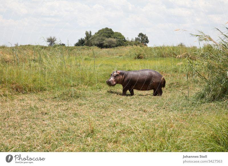 Grazing hippo on the riverbank hippopotamus Hippopotamus Animal Wild animal Safari Africa deadly peril Nature Wilderness Grass reed Sky Summer Sun trees bushes