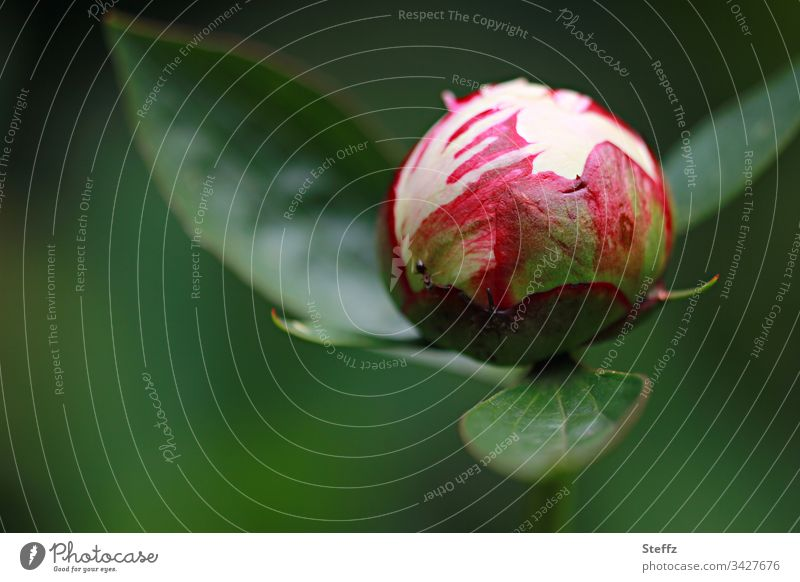 bud of peony just before development Peony Blossom Flower Nature Close-up Green Garden Exterior shot Fresh daylight Copy Space Environment Red Round Sphere