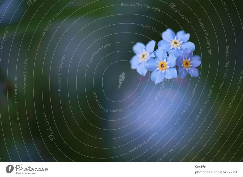 Forget-me-not bloom again this spring Flower Blossom Blue Blur Beautiful Garden Plant Neutral Background Copy Space Blossoming Spring flower Nature Romance