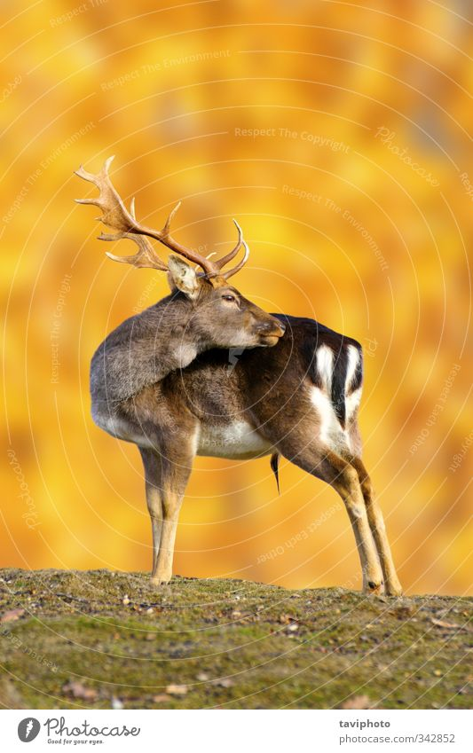 fallow deer buck in autumn Nature Man Beautiful Colour Loneliness Landscape Animal Forest Adults Meadow Autumn Brown Park Gold Large Stand