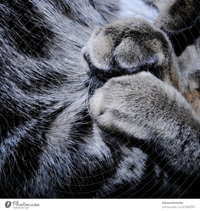 siesta Animal Pet Cat Pelt Paw 1 Sleep Dream Gray Trust Serene To enjoy Contentment contented Calm tired Goof off Soft Plush Siesta Claw Tiger skin pattern