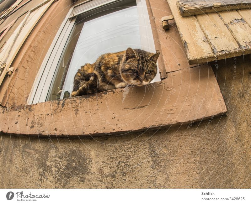 Cat looks down from an old windowsill ready to jump to the camera Frog's eye view Exterior shot Worm's-eye view fisheye Domestic cat Window Old Old building