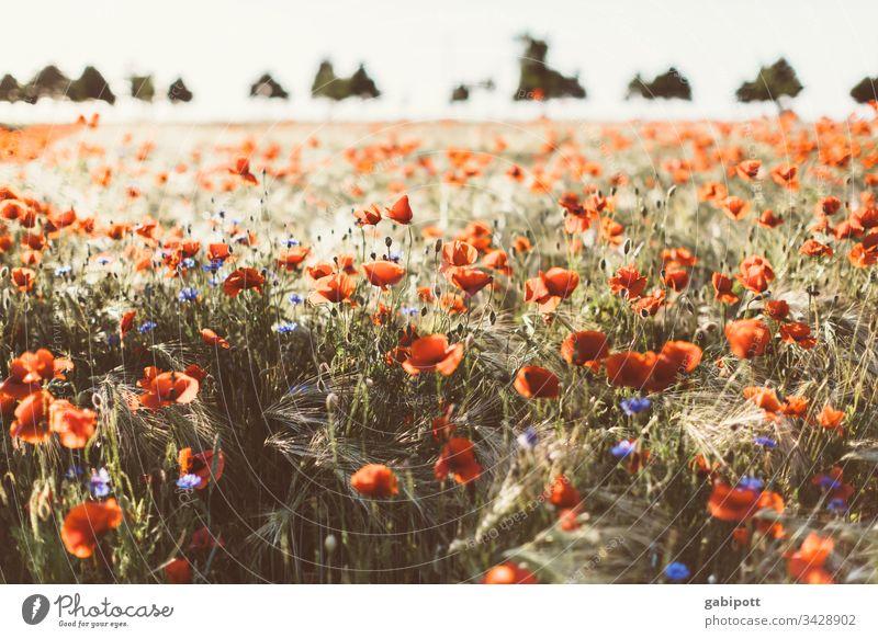 Flower meadow with corn poppy Corn poppy Poppy flowers Red bleed field of gossip poppies Summer Meadow Plant Poppy blossom Field Poppy field Exterior shot Idyll
