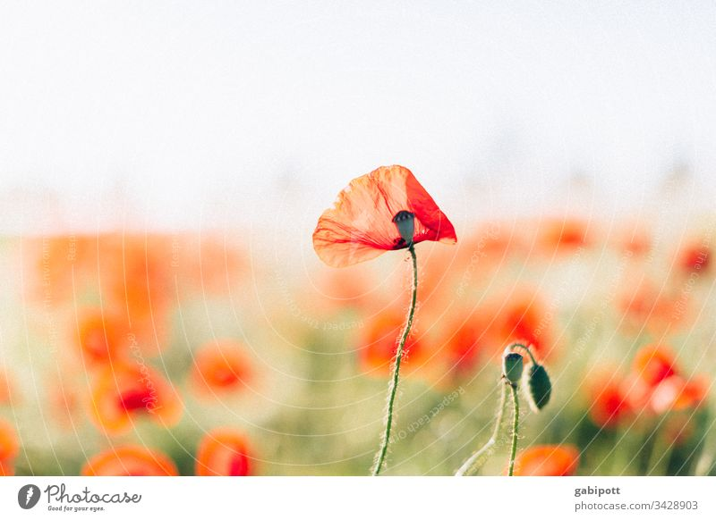 poppies Poppy Poppy blossom flowers Plant Red bleed Summer Exterior shot Colour photo Nature Field Poppy field Meadow Deserted Landscape Environment Corn poppy