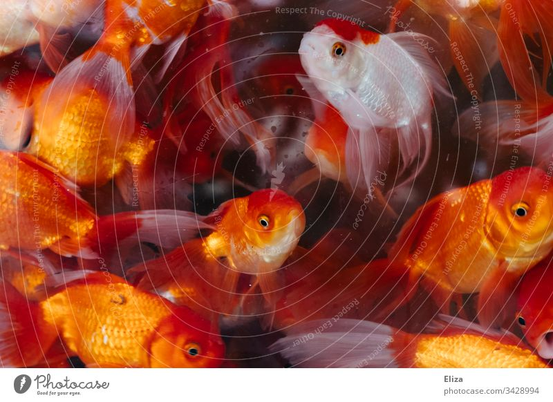 Many bright red orange goldfish in an aquarium with water Goldfishes Aquarium Pet shop Red Orange Water Illuminate Underwater photo Colour photo Animal Blue