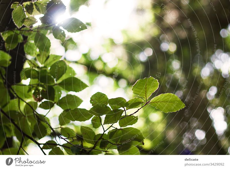 sea of leaves Light (Natural Phenomenon) Sunbeam Back-light Contrast Sunlight Leaf green Deciduous tree Subdued colour Shallow depth of field Branch Bushes