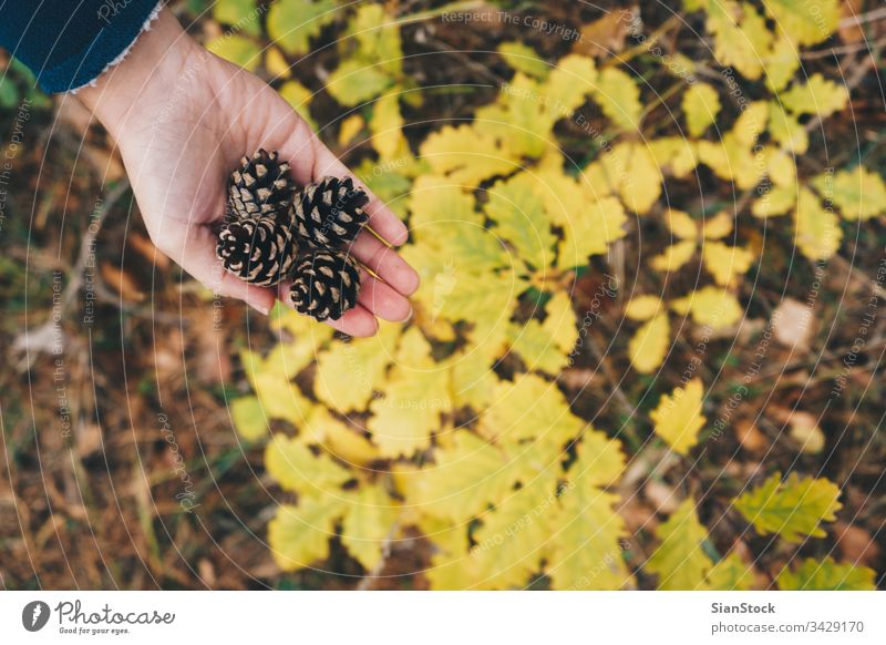 Woman holding pine cones in the forest, top view hand yellow leave leaf autumn hands white nature cedar background brown winter pinecone isolated seed seasonal