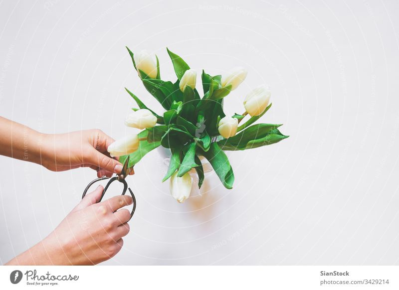 Womans hands care of bouquet of white tulips isolated background day vase scissors spring nature green beautiful cut cutting flower mothers space bunch beauty