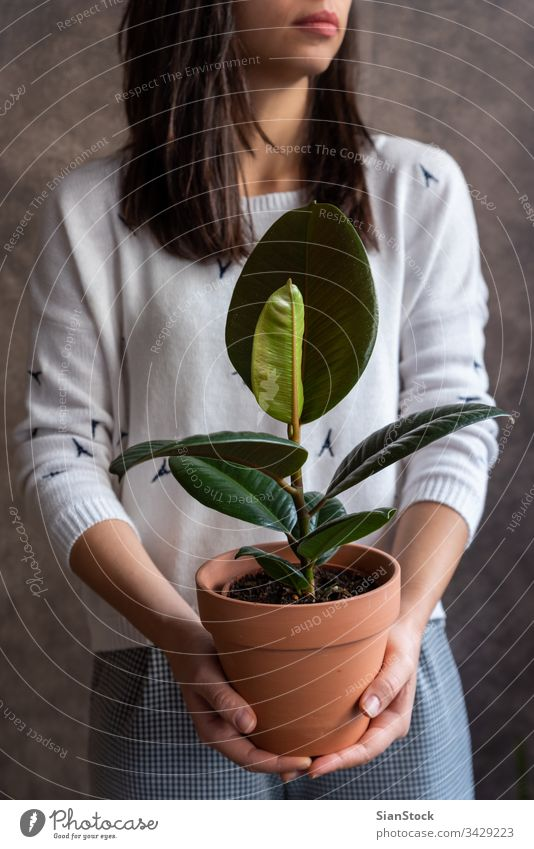 Woman holding ficus plant pot flower woman hands florist gift floral white indoor Ficus elastica background person female bloom botanical flowers green girl