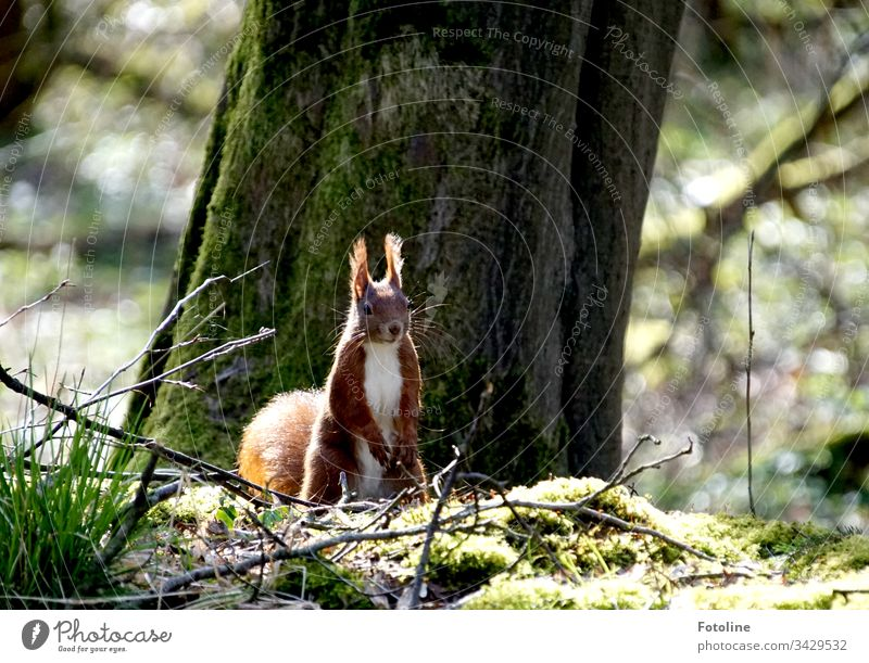 Small red squirrel in the forest in front of a thick tree on moss illuminated by sunlight Squirrel Animal Colour photo 1 Exterior shot Wild animal Nature